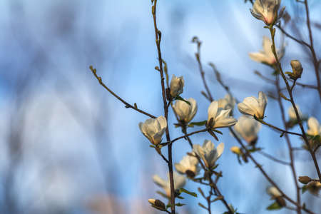 White magnolia blossom in the city street on spring sunny evening. Beautiful nature background. Stock Photo