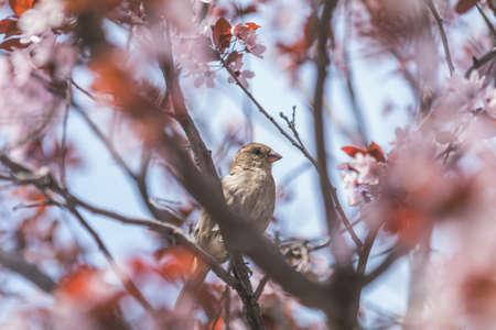 Sparrow on a pink apple tree blossom branch in the city park on spring sunny day. Beautiful nature background. Toned photo, close up, shallow depth of the field.