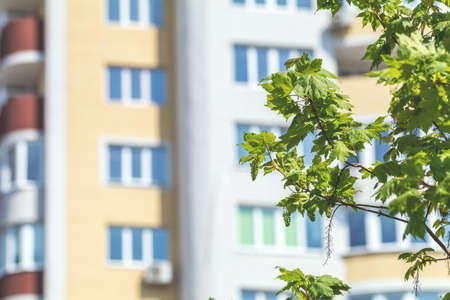 Maple branches with young green leafs and blossom against the city building background Stock Photo - 100597388