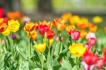 Beautiful colorful tulips with green leaf in the garden with blurred many flower as background of colorful blossom flower in the park. Stock Photo