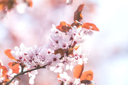 Spring background art with pink plum tree blossom. Beautiful nature scene with blooming tree and sun flare. Abstract blurred background. Shallow depth of field.