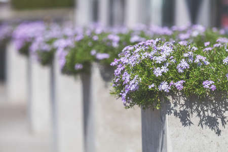 Street cafe flowers and herbs decor concept. Blue beautiful flowers at the cafe. Sunny day. Shallow depth of field.