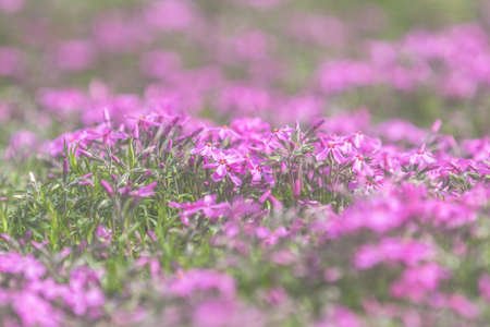 Pink Phlox on the Spring Sunny Lawn. Beautiful Nature Flowers Holiday background. Shallow depth of field. Toned. Copy space. Stock Photo