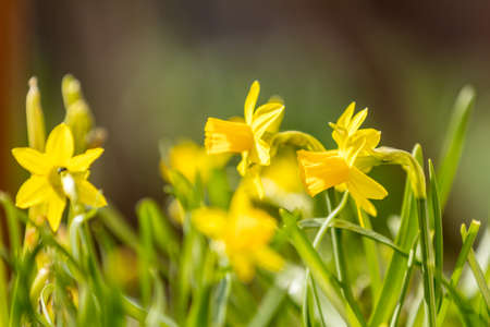 Yellow blooming daffodil. Sunny day. It rains in sunny day. Low angle. Sunshine. Sunrise. Shallow depth of field. Reklamní fotografie