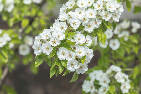 Close up of White Blossom Pear Tree Branch, during Spring Season on Green White Background Stock Photo - 100726867