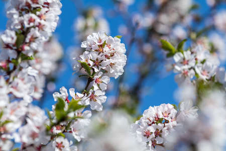 Close up of White Blossom Cherry Tree Branch, Nanking cherry (Prunus tomentosa), during Spring Season on Blue Sky Background