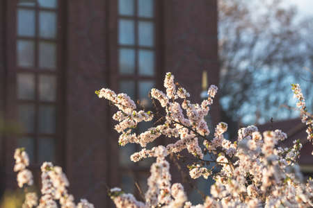 Close up of White Blossom Cherry Tree Branch, Nanking cherry (Prunus tomentosa), during Spring Season. Sunset light in the city street Stock Photo