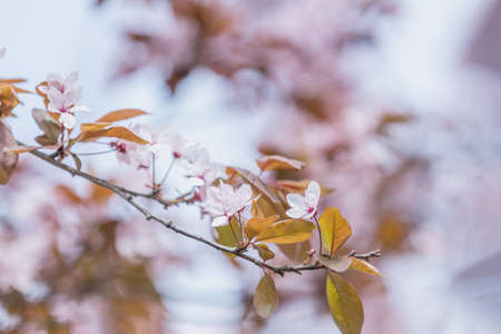 Close up of Pink Blossom Plum Tree Branch, Prunus cerasifera Nigra, during Spring Season on Blue Pink Background