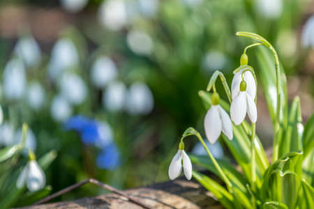 White blooming snowdrop folded or Galanthus plicatus. Spring sunny day in the forest. Close up, shallow depth of the field.
