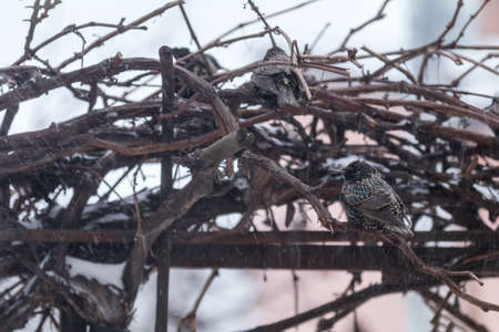 Many common european starling birds on grape vine while snowfall. Difficult weather conditions of early spring. Shallow depth of field, toned photo Stock Photo