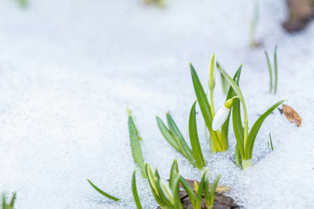 White bud blooming snowdrop folded or Galanthus plicatus with water drops on white snow in the forest