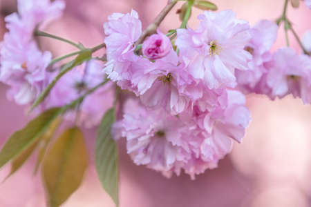 Close up of Pink Blossom Cherry Tree Branch, Sakura, during Spring Season on Pink Background. Beautiful Nature Scene with Blooming Tree Stock Photo