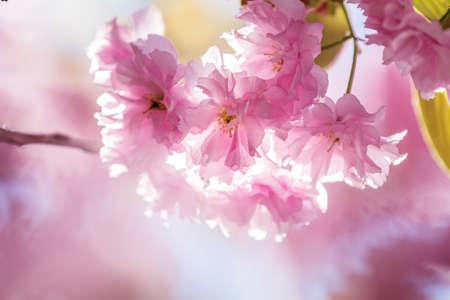 Close up of Pink Blossom Cherry Tree Branch, Sakura, during Spring Season on Pink Background. Beautiful Nature Scene with Blooming Tree and Sun Flare. Shallow depth of field.