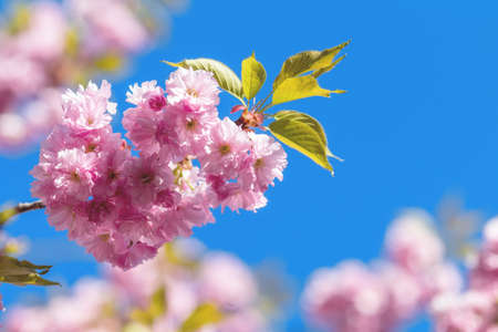 Close up of Pink Blossom Cherry Tree Branch, Sakura, during Spring Season on Blue Sky Background. Beautiful Nature Scene with Blooming Tree and Sun Flare. Shallow depth of field.
