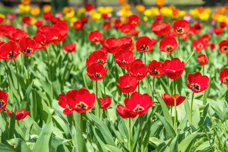 Beautiful Colorful Tulips with Green leaf in the Garden with Blurred many Flower as background of Colorful Blossom Flower in the Park.