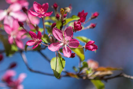 Spring background art with Pink Apple Tree Blossom. Beautiful Nature Scene with Blooming Tree and Sun Flare. Blue Sky background. Shallow depth of field. Stock Photo - 100726914