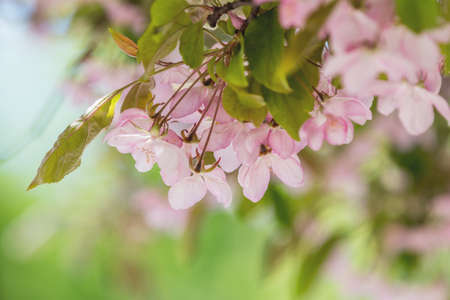 Spring background art with Pink Apple Tree Blossom. Beautiful Nature Scene with Blooming Tree and Sun Flare. Abstract Green blurred background. Shallow depth of field.