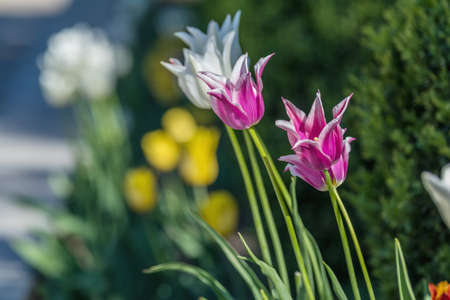 Beautiful Colorful Tulips with Green leaf in the Garden with Blurred many Flower as background of Colorful Blossom Flower in the Park. Stock Photo - 100726918