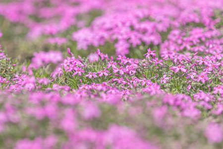 Pink Phlox on the Spring Sunny Lawn. Beautiful Nature Flowers Holiday background. Shallow depth of field. Toned. Copy space Stock Photo - 101053050
