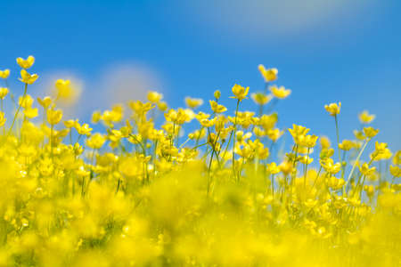 Yellow Ranunculus acris on the Spring Sunny Lawn. Beautiful Blue Sky Holiday background. Shallow depth of field. Toned. Copy space. Stock Photo