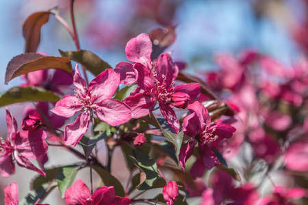 Spring background art with Pink Apple Tree Blossom. Beautiful Nature Scene with Blooming Tree and Sun Flare. Blue Sky background. Shallow depth of field.