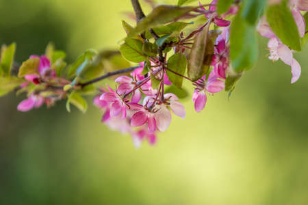 Spring background art with Pink Apple Tree Blossom. Beautiful Nature Scene with Blooming Tree and Sun Flare. Blue Sky background. Shallow depth of field. Stock Photo - 101251000
