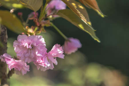 Close up of Pink Blossom Cherry Tree Branch, Sakura, during Spring Season on Pink Background. Beautiful Nature Scene with Blooming Tree and Sun Flare. Shallow depth of field. Stock Photo - 101251007