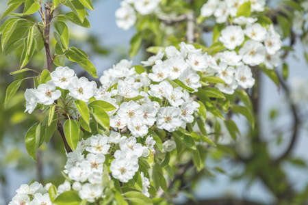 Close up of White Blossom Pear Tree Branch, during Spring Season on Green White Background Stock Photo - 101053136