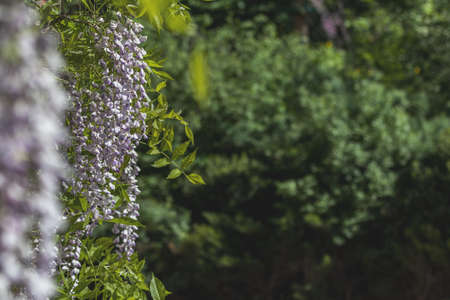 Closeup of pink flower clusters of an Wisteria in full bloom in spring. Beautiful Nature Scene with Blooming Tree and Sun Flare. Shallow depth of field. Stock Photo - 101126646