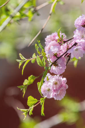 Closeup of pink flower clusters of an flowering plum or flowering almond in full bloom in spring. Beautiful Nature Scene with Blooming Tree and Sun Flare. Shallow depth of field. Stock Photo - 101091543