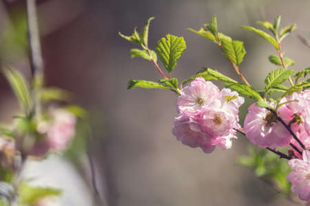Closeup of pink flower clusters of an flowering plum or flowering almond in full bloom in spring. Beautiful Nature Scene with Blooming Tree and Sun Flare. Shallow depth of field. Stock Photo - 101126881