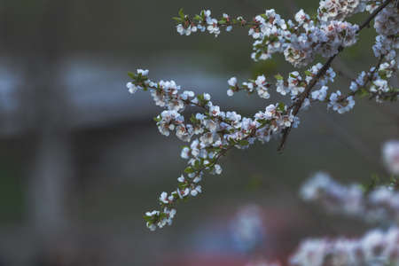 Close up of White Blossom Cherry Tree Branch, Nanking cherry (Prunus tomentosa), during Spring Season. Sunset light in the city street Stock Photo - 101104810