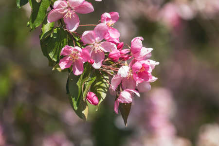 Spring background art with Pink Apple Tree Blossom. Beautiful Nature Scene with Blooming Tree and Sun Flare. Blue Sky background. Shallow depth of field. Stock Photo - 101102245