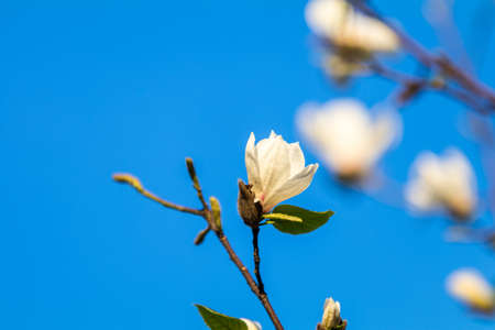 Close up of White Blossom Magnolia Tree Branch, during Spring Season on Blue Sky Background. Sunset light Stock Photo - 101074073