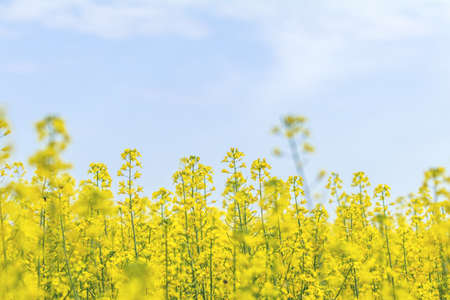 Blooming yellow rapeseed field with blue cloudless sky. Picturesque canola field under blue sky with white fluffy clouds. Wonderful image for ecological concept Stock Photo