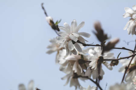 White magnolia blossom in the city park on spring sunny day. Beautiful nature background. Stock Photo