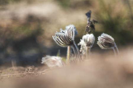 Beautiful spring violet flowers background. Eastern pasqueflower, prairie crocus, cutleaf anemone