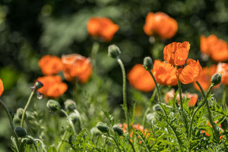 Flower decorative orange poppy on a flower bed in the city in the Garden with Blurred Flower as background of Colorful Blossom Flower in the Park. Stock Photo