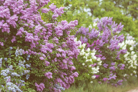 Lilac or common lilac, Syringa vulgaris in blossom. Purple flowers growing on lilac blooming shrub in park. Springtime in the garden. Toned and processing photo Stock Photo