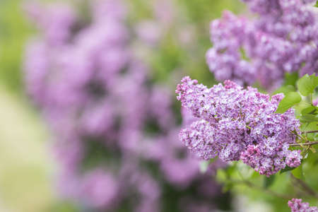 Lilac or common lilac, Syringa vulgaris in blossom. Purple flowers growing on lilac blooming shrub in park. Springtime in the garden Stock Photo