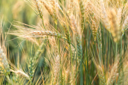 Wheat Rye Field, Ears of wheat close up. Harvest and harvesting concept. Ripe barley on the field on late summer afternoon, sunset backlight, shallow depth of the field Stock Photo