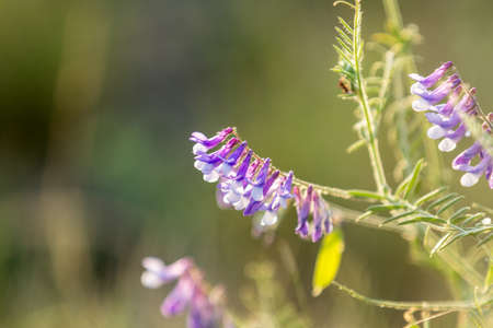 Vetch flowers close up in the . Wild pea flowers blossom. Sunset backlight, dolly shot, shallow depth of the