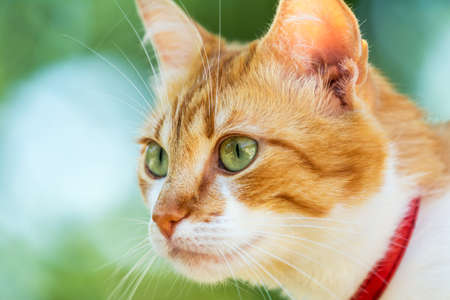 Cute white-red cat in a red collar watching for something on the garden of green grass. Beautiful day, close up, toned photo, shallow depth of the field. Stock Photo