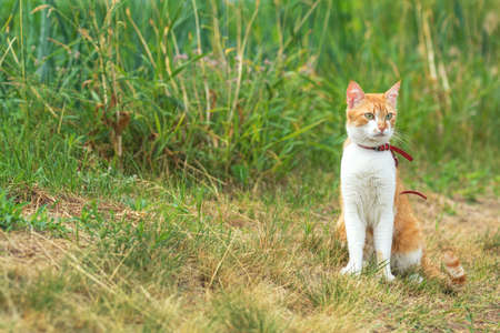 Cute white-red cat in a red collar watching for something on the garden of green grass. Beautiful day, toned photo, shallow depth of the field.