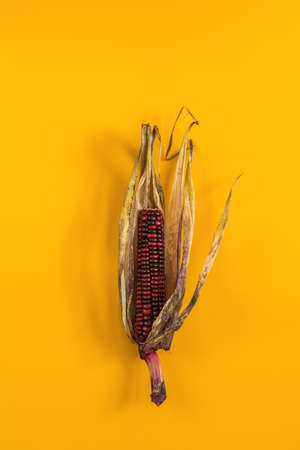 Cheerful and Colorful dried Indian Corn on yellow surface as decoration for Thanksgiving Table, Halloween, and the Fall Season.