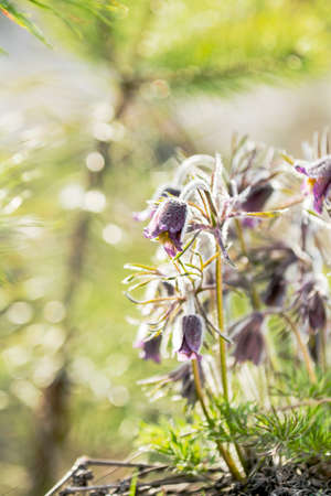 Eastern pasqueflower, prairie crocus, cutleaf anemone with water drops,  dolly shot, shallow depth of the field Stock Photo