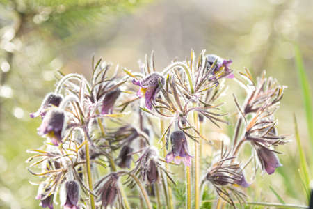 Eastern pasqueflower, prairie crocus, cutleaf anemone with water drops,  dolly shot, shallow depth of the field Stock Photo - 107593839