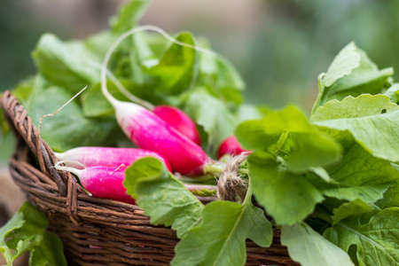 Bunch of fresh radishes in a wicker basket outdoors on the table Stock Photo