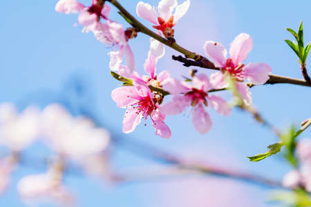 Spring background art with pink peach blossom. Beautiful nature scene with blooming tree and sun flare. Abstract blurred background. Shallow depth of field. Stock Photo