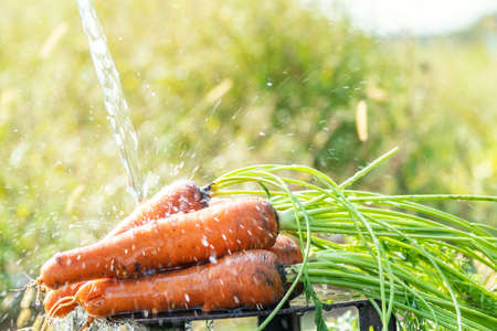 Fresh raw carrot in the garden on sunny day under a jet of water. Close up, shallow depth of the field. Stock Photo
